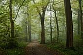 forest, fog, footpath, Neuenburger Urwald, Zetel, Friesland - district, Lower Saxony, Germany, Europe