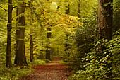 forest, footpath, autumn, Neuenburger Urwald, Zetel, Friesland - district, Lower Saxony, Germany, Europe