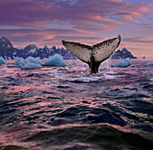 Humpback whale fluke, Antarctic Peninsula, Antarctica