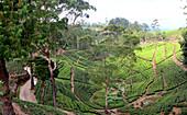 Teeplantagen bei Nuwara Eliya, Bergland, Sri Lanka