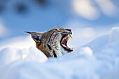 European Lynx in snow yawning, Lynx lynx; Nationalpark Bayrischer Wald, Bavaria, Germany, captive