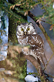 Tengmalm's Owl, Aegolius funereus, Bavarian Forest National Park, Bavaria, Germany