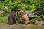 Brown Bears fighting in water, Ursus arctos, Bavarian Forest National Park, Bavaria, Lower Bavaria, Germany, Europe