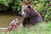Brown Bears male and female, Ursus arctos, Bavarian Forest National Park, Bavaria, Lower Bavaria, Germany, Europe