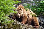 Brown Bear female, Ursus arctos, Bavarian Forest National Park, Bavaria, Germany, Europe, captive