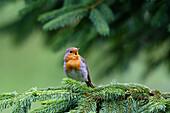Rotkehlchen singt, Erithacus rubecula, Bayern, Deutschland