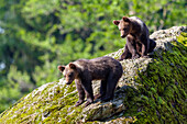 Young Brown Bears, Ursus arctos, Bavarian Forest National Park, Bavaria, Lower Bavaria, Germany, Europe, captive