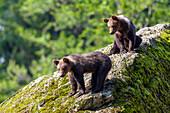 Young Brown Bears, Ursus arctos, Bavarian Forest National Park, Bavaria, Lower Bavaria, Germany, Europe, captive