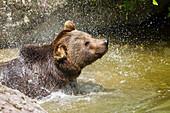 Braunbär im Wasser schüttelt sich, Ursus arctos, Nationalpark Bayerischer Wald