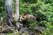 Brown Bear, Ursus arctos, Bavarian Forest National Park, Bavaria, Germany, Europe, captive