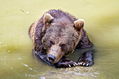 Brown Bear in water, Ursus arctos, Bavarian Forest National Park, Bavaria, Germany, Europe, captive