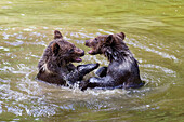 Young Brown Bears playing in water, Ursus arctos, Bavarian Forest National Park, Bavaria, Lower Bavaria, Germany, Europe, captive