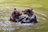 Junge Braunbären spielen im Wasser, Ursus arctos, Nationalpark Bayerischer Wald, Niederbayern, Deutschland, Europa