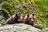 Brown Bear, mother with cub, Ursus arctos, Bavarian Forest National Park, Bavaria, Lower Bavaria, Germany, Europe, captive