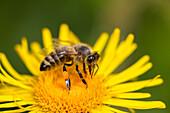 Honey Bee at dandelion flower, Apis mellifera, Bavaria, Germany
