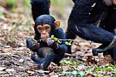 Young Chimpanzee, Pan troglodytes, Mahale Mountains National Park, Tanzania, East Africa