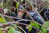 Schimpansen, Baby mit Mutter, Pan troglodytes, Mahale Mountains Nationalpark, Tansania, Ostafrika