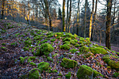 remains of a celtic wall, winterly forest, Rhineland-Palatinate, Germany, Europe