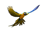 Ararauna fliegt im Regenwald, Ara ararauna, freigestellt, Südamerika