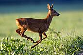 Roe Deer in meadow, female, Capreolus capreolus, Upper Bavaria, Germany, Europe