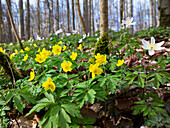 Yellow anemones in beech forest in spring, Anemone ranunculoides, Anemone nemorosa, Hainich National Park, Thuringia, Germany, Europe