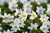 Wood anemone in beech forest in spring, Anemone nemorosa, Hainich National Park, Thuringia, Germany, Europe