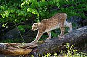 European Lynx, Lynx lynx; Nationalpark Bayrischer Wald, Bavaria, Germany, captive