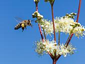 Honigbiene, Apis mellifera, Arbeiterin, an Blüte von Mädesüß, Filipendula ulmaria, Oberbayern, Deutschland