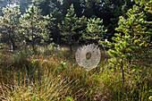 Spinnennetz mit Tautropfen zhwischen Kiefern, Bayern, Deutschland
