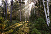 sunrays in mixed forest, Upper Bavaria, Germany, Europe