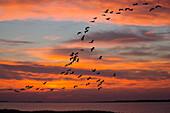 Kraniche fliegen in Keilformation, Grus Grus, Mecklenburg-Vorpommern, Deutschland, Europa, digital komponiert