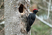 Black Woodpecker, Dryocopus martius, male at nesthole, Bavaria, Germany; Europe