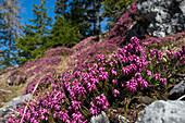 Schneeheide, Erica herbacea, Alpen, Österreich