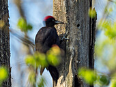 Black Woodpecker, Dryocopus martius, male drumming, Bavaria, Germany; Europe