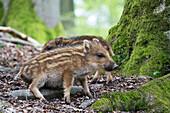 Wildschwein Frischlinge, Sus scrofa, Deutschland