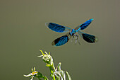 dragonfly in flight, Calopteryx splendens, male Bavaria, Garmany, Europe