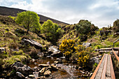 Gorse blooming next to a creek on the coast of Ireland seen from while walking the Dingle Way, near Blennerville, near Tralee, Dingle Peninsula, County Kerry, Ireland, Europe
