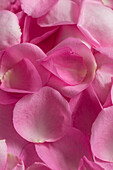 Close-up of petals from a pink rose, Kassel, Hesse, Germany, Europe