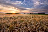 Sonnenuntergang über einem sommerlichen Kornfeld in Sachsen-Anhalt, Deutschland, Europa
