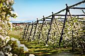 Kirschblüte bei Markdorf mit Alpenblick, Bodenseekreis, Baden-Württemberg, Deutschland