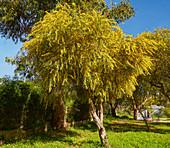 Flowering mimosas at Alvor, District Faro, Region of Algarve, Portugal, Europe