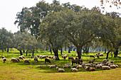 Flock of sheep beolw cork-oaks near Ferreira, District Beja, Region of Alentejo, Portugal, Europe