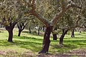 Cork-oaks near Ferreira, District Beja, Region of Alentejo, Portugal, Europe