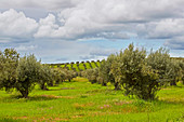 Spring flowers between olive-trees near Moura, District Beja, Region of Alentejo, Portugal, Europe