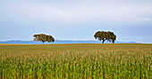 Zwei Bäume im Getreidefeld bei Pedrógao, Distrikt Beja, Region Alentejo, Portugal, Europa