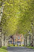 Tree avenue in Nieblum, North Frisian Island Föhr, North Sea, Schleswig-Holstein, Northern Germany, Germany, Europe