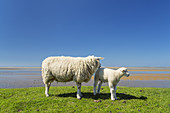 Sheeps on the dike by the North Sea, Utersum, North Frisian Island Föhr, Schleswig-Holstein, Northern Germany, Germany, Europe