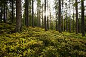 Nadelwald im Sommer mit Moos und Farnen, bei Hinterzarten, Schwarzwald, Baden-Württemberg, Deutschland