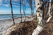 Birch Trees, Weststrand, Fischland-Darß-Zingst, Mecklenburg-Vorpommern, Germany, Europe