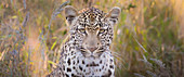 A leopard's head, Panthera pardus, direct gaze, brown and green long grass in the background
